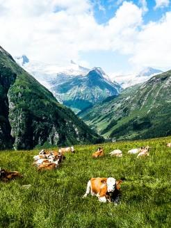 Venedigerblick mit Kühen