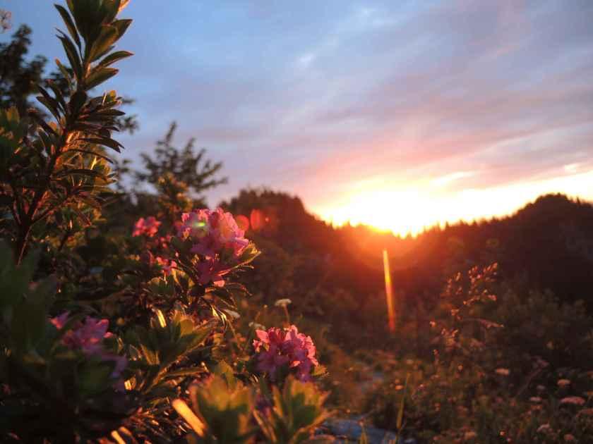 Alpenrosen im Abendlicht