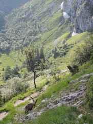 Wegbegleiter: Die Steinböcke an der Benediktenwand