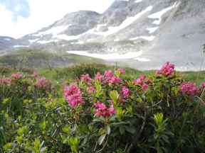 Alpenrosen Marxenkar