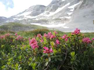Alpenrosen im Marxenkar.