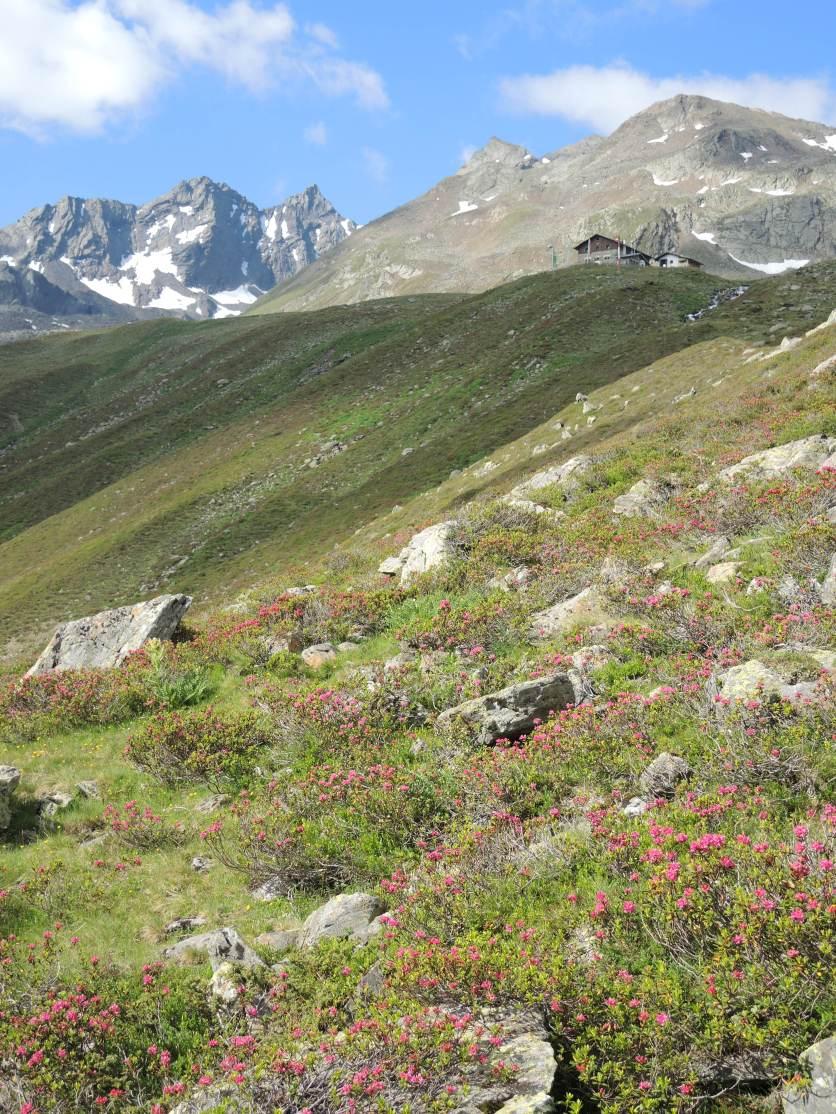 Pforzheimer Hütte über Alpenrosen