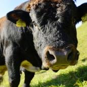 Eine freundliche Kuh